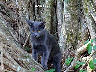 Domestic Shorthair Cat for adoption in Bonita Springs, Florida - Mouse