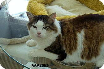 Domestic Longhair Cat for adoption in Naples, Florida - Rameses