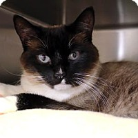 Adopt A Pet :: Kitty Bug - Bellevue, WA