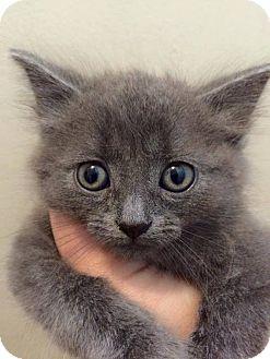 Domestic Mediumhair Kitten for adoption in Toms River, New Jersey - Reggie