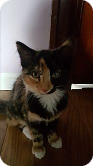 Calico Kitten for adoption in Battle Creek, Michigan - Casey