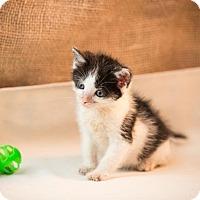 Domestic Shorthair Kitten for adoption in Lambertville, New Jersey - Jack Jr.