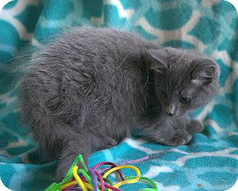 Domestic Longhair Kitten for adoption in Staunton, Virginia - Dusty