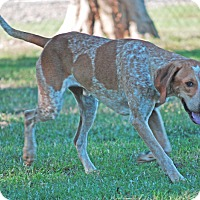 Coonhound Dog for adoption in Savannah, Tennessee - Ace