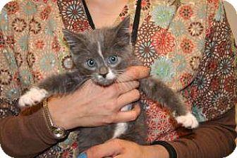 Domestic Shorthair Kitten for adoption in Wildomar, California - 319727