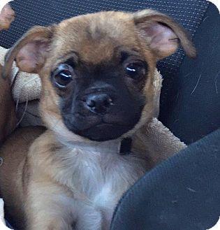 Pug Puppy for adoption in Gardena, California - Stimpy