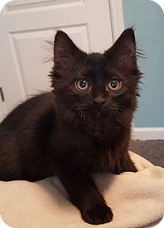 Domestic Mediumhair Kitten for adoption in Highland, Indiana - GRISWOLD