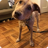 Terrier (Unknown Type, Medium)/Labrador Retriever Mix Dog for adoption in Brooklyn, New York - Kai