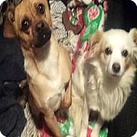 Adopt A Pet :: Alvin & Theodore – Sweet Littl - Kirkland, WA