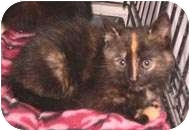 Domestic Shorthair Cat for adoption in Putnam Valley, New York - Pandora