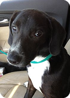 Labrador Retriever/Hound (Unknown Type) Mix Puppy for adoption in Gainesville, Florida - Lucy