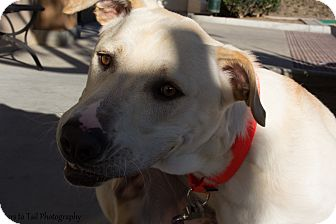 Labrador Retriever/Shepherd (Unknown Type) Mix Dog for adoption in Mission Viejo, California - Trooper