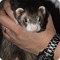 Adopt A Pet :: Moses - Buxton, ME
