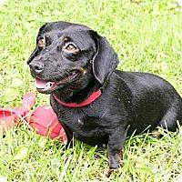 Adopt A Pet :: Cecily - Mocksville, NC