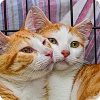 Domestic Shorthair Cat for adoption in Queens, New York - Finn and Ozzy