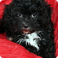 Adopt A Pet :: Itzee Shichon - St. Louis, MO