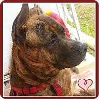Adopt A Pet :: Tigre - Miami, FL