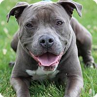 Adopt A Pet :: Boba - Queenstown, MD