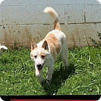 Adopt A Pet :: Donna (POM-DC) - Harrisonburg, VA