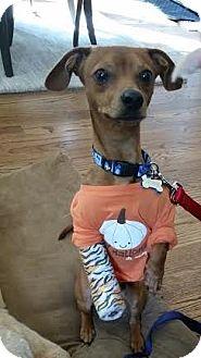 Dachshund Mix Dog for adoption in Alpharetta, Georgia - Verne