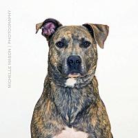 Labrador Retriever/Mastiff Mix Dog for adoption in Naperville, Illinois - Brutus (Happy Pants)