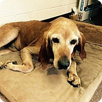 Hound (Unknown Type) Dog for adoption in Youngsville, North Carolina - Merle Haggard