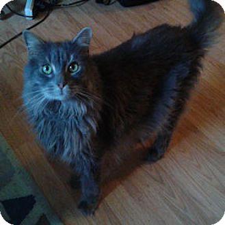 Domestic Longhair Cat for adoption in Verdun, Quebec - Chico
