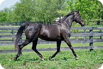 Thoroughbred Mix for adoption in Nicholasville, Kentucky - Miss Lady Fan