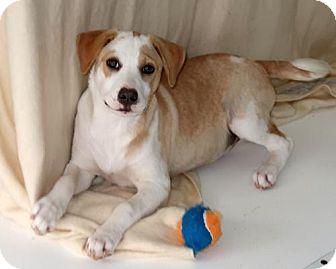 Labrador Retriever/Australian Shepherd Mix Puppy for adoption in Little Compton, Rhode Island - Tessie