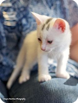 Domestic Shorthair Kitten for adoption in Chattanooga, Tennessee - Winchester
