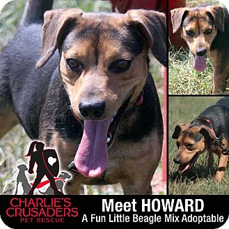 Beagle Mix Dog for adoption in Spring City, Pennsylvania - Howard
