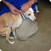 Rat Terrier Mix Dog for adoption in Louisville, Kentucky - SVEN