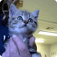 Domestic Mediumhair Kitten for adoption in Atlanta, Georgia - JESS