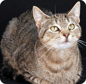 Domestic Shorthair Cat for adoption in Newland, North Carolina - Pandora