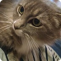 Domestic Longhair Cat for adoption in Concord, North Carolina - Adele