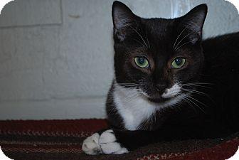 Domestic Shorthair Kitten for adoption in New Castle, Pennsylvania - Kiara