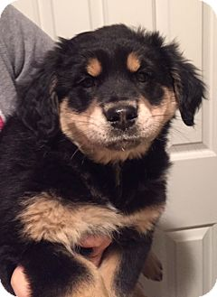 Bernese Mountain Dog/Spaniel (Unknown Type) Mix Puppy for adoption in Bridgewater, New Jersey - Roe