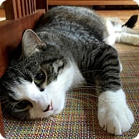 Domestic Shorthair Cat for adoption in Brooklyn, New York - Freckles