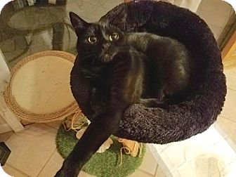 Domestic Shorthair Kitten for adoption in Sparta, New Jersey - Cozy