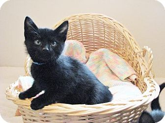 Domestic Shorthair Kitten for adoption in Polson, Montana - Tic
