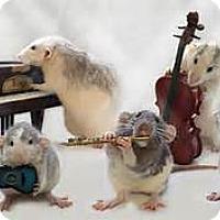 Adopt A Pet :: *Oh Rats!! - Virginia Beach, VA