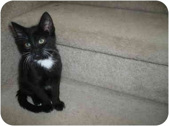 Domestic Shorthair Kitten for adoption in Loveland, Colorado - Tux