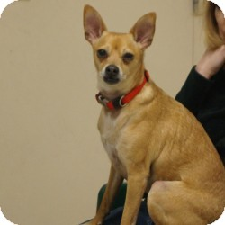 Rudi | Adopted Dog | Eatontown, NJ | Chihuahua/Italian ...