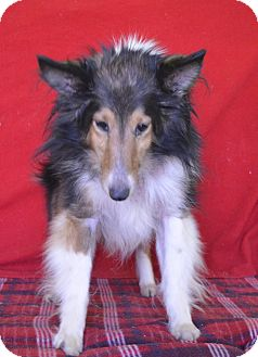 Sheltie, Shetland Sheepdog Mix Dog for adoption in New Cumberland, West Virginia - Jasmine