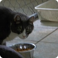 Domestic Shorthair Cat for adoption in East Smithfield, Pennsylvania - Benny
