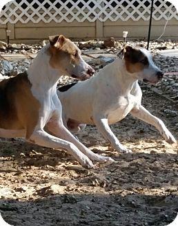 Labrador Retriever/Hound (Unknown Type) Mix Dog for adoption in Austin, Texas - Brodie & Raven
