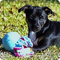Adopt A Pet :: Romeo - La Habra Heights, CA