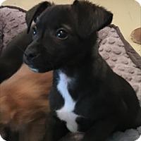 Adopt A Pet :: Dill - Las Vegas, NV