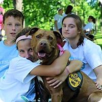 American Staffordshire Terrier Mix Dog for adoption in Unionville, Pennsylvania - Copper
