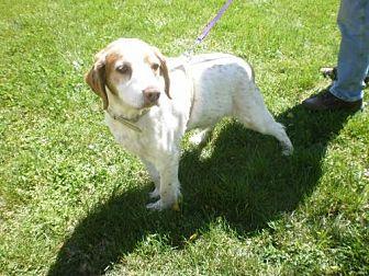 Brittany Dog for adoption in Hampton Cove, Alabama - TN/Max